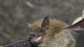 """Útok netopýrů! K babičce (73) v Brně nalítalo 53 """"okřídlených myší"""""""