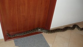 Největší had světa se plazil po chodbě v pražském paneláku!