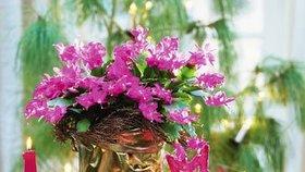 Jak mít bohatě rozkvetlý vánoční kaktus