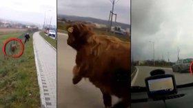 Nuda v Brně?! Policisté honili po ulicích bizona!
