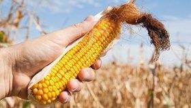 Češi o geneticky upravenou kukuřici nestojí. Ale to se má změnit, říká ministerstvo