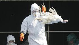 Ptačí chřipka v USA: Zdražují kvůli ní vejce. Firmy zvažují dovoz