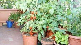 Nemáte zahradu? Rajčata, mrkev a salát můžete pěstovat i na balkoně!