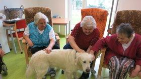Labradorka Abby dokáže zázraky. V domovech důchodců vrací chuť žít