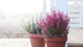 Vřes jako pokojová rostlina: Jak ho pěstovat, aby vydržel a neuschnul