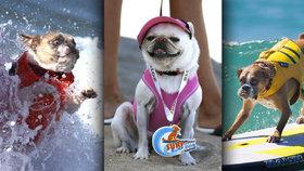 Hafani na vlnách: Pejsci v Kalifornii soutěžili v surfování