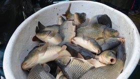 Trápení ryb a špatná hygiena: Veterinární správa si posvítila na prodejce vánočních kaprů