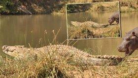 353f76b5480 Tlustokožec se zakousl do krokodýla