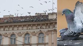 Kde je dům holubí? Blesk ho našel v Praze. Děsí chodce, trápí hygieniky