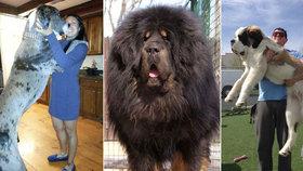 Jako Maxipes Fík! Podívejte se na fotografie obřích psích mazlíčků