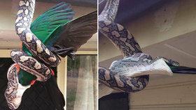 Chramst, mám tě, papoušku! Krajta děsivě pozřela celého opeřence