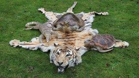 Policie hledala důkazy o korupci. Našla upytlačeného tygra, varana a želvy