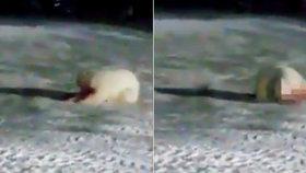 Lední medvědici dali sežrat výbušninu, umírala v hrozných bolestech!