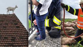 Zaseknuté děti, koza na střeše a čáp v komíně: I to je hasičský rok 2015