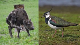 Zubr, čejka a karas nově mezi chráněnými druhy. Seznam se mění po 24 letech