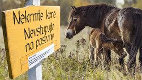 Vzácné koně za miliony ohrožují obyčejná jablka. Lidé si ale nedají říct