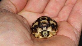 Zoo Praha má dvě novoroční mláďata: Narodil se beránek a vylíhla se malá želva tuniská