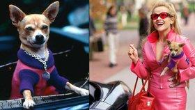 Zemřel kolega Reese Witherspoon z filmu Pravá Blondýnka: Čivavímu herci bylo 18 let!