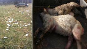 """""""Vlky tu nechceme!"""" horuje farmář z Broumovska. Šelmy mu roztrhaly desítky ovcí"""