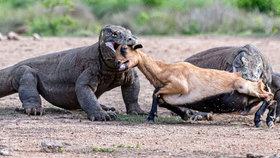 Skutečný Jurský park: Dva velcí plazi rozsápali nebohou kozičku