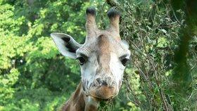Hledá se žirafí samec pro zlínskou zoo. Složitý úkol řeší německá centrála