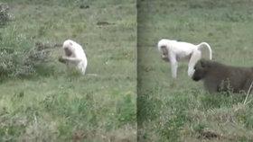 Vzácný objev na safari v Tanzanii: Žije tu úplně bílý pavián!