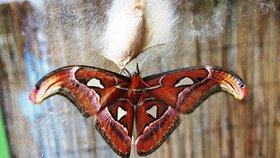 Exotičtí motýli z Británie se líhnou v Praze: Sledujte živě, jak se z kukly stane motýl