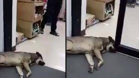 Nejlínější pes světa: Neuhne ani, když mu automatické dveře vrážejí do čumáku