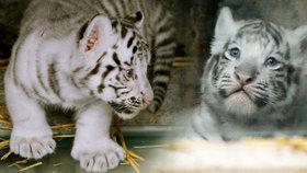Pořádná dávka roztomilosti: Zoo Liberec zveřejnila první fotky tygřích mláďátek