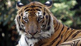 Na Šumavě pátrají po tygrovi. Řidička tvrdí, že ho viděla, policie pochybuje