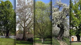 Pět nejvýznamnějších stromů vPraze: Zažily prezidenta Masaryka nebo básníka Nerudu