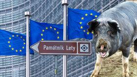 Evropo, nedotuj prasata v Letech, žádají aktivisté. Komise nic nezmůže