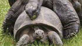 a3718f0e2e5 Želvy v pražské zoo se na sebe vrhly  Oddávaly se želví lásce před zraky  návštěvníků