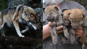 Na Šumavě je o pět vlků víc: V neděli pokřtili nová mláďata