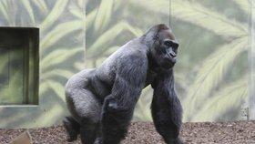 """České zoo: """"Neobviňujte ošetřovatele."""" Gorilu by u nás zastřelili taky"""