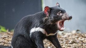 Pražská zoo chce chovat tasmánské čerty: Postaví pro ně nový pavilon