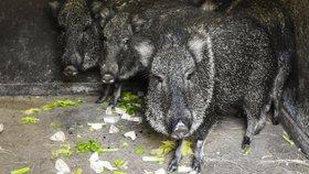 Prehistorické zvíře našlo domov v pražské zoo: Čtyři pekari Wagnerovi přijeli z Berlína