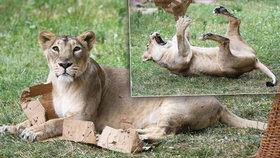 Podívaná v pražské zoo: Lvice Suchi cupovala krabici!