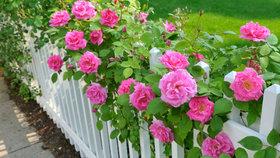 Jak se postarat o růže, aby kvetly až do prvních mrazů