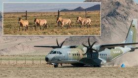 Mongolská mise Zoo Praha pokračuje: Letoun CASA převeze čtyři koně Převalského mezi parky