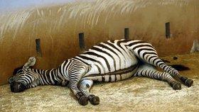 Prohlídky za tmy v Zoo Praha: V prosinci si můžete zpestřit i večer před Štědrým dnem