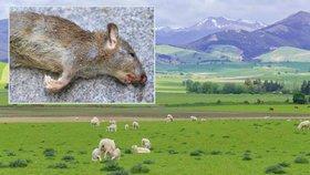 Nový Zéland chrání své ptáky: Vláda se rozhodla vyhladit všechny krysy