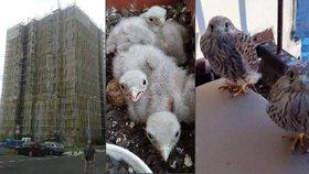 Rekonstrukce v Praze komplikuje ptactvo. Stavbaři čekají na poštolky i rorýse