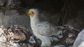 Zoo Praha vypustí do světa supa: Bude létat nad Bulharskem