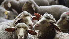 Vzácné louky v Česku trpí. Spasit je mají ovce, divocí koně i pratur