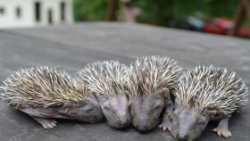 V Jihlavě zachránili čtyři ježčí sirotky: Mámu jim roztrhal pes
