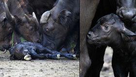 Událost v královédvorské zoo: Narození buvola v přímém přenosu!