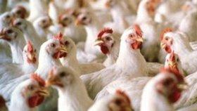V Německu bojují s ptačí chřipkou, zabili tam 77 tisíc kusů drůbeže