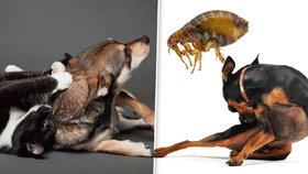 Blechy psí i kočičí na člověka jdou a zamoří vám celý byt! Jak se bránit?