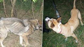 Týraní psi hladem putovali do útulku: Majitele, který je uvázal u stromu, hledá policie